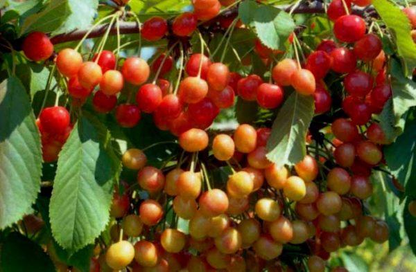 Спелые грозди черешни Фатеж, готовые к сбору