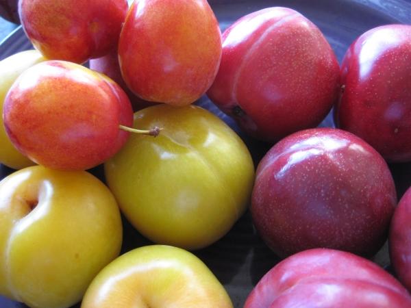 Между сливой и алычей несколько различий: от цвета плодов до устойчивости к болезням и вредителям