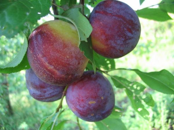 Слива сорта Сувенир Востока высокоморозостойкая, плоды предпочтительнее употреблять свежими
