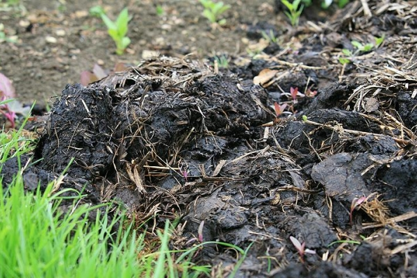 Для подкормки осенью сливе необходимы все минералы, кроме азота, а также навоз и фосфор