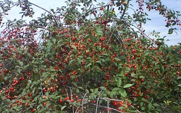 Кустовая самоплодная вишня сорт Молодежная