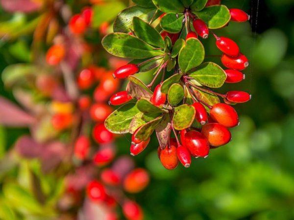 Ветка барбариса с плодами