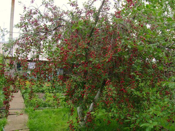 Вишня с плодами на дачном участке