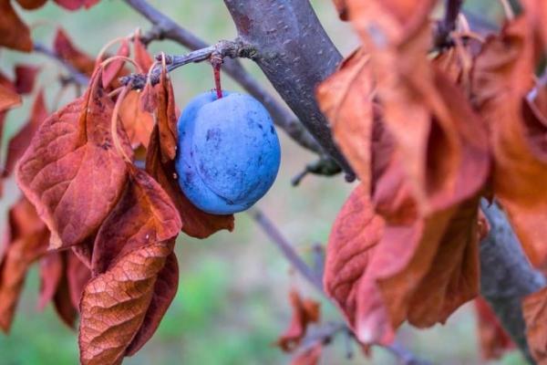 Правильный уход за сливой осенью: необходимые мероприятия