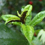 Тля на листьях сливы