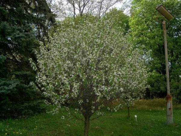 Дерево Степная вишня