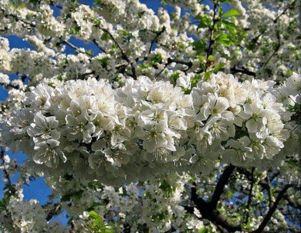 Цвет черешни Ревна