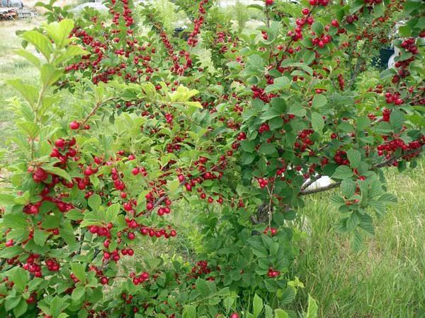 Готовый урожай войлочной вишни