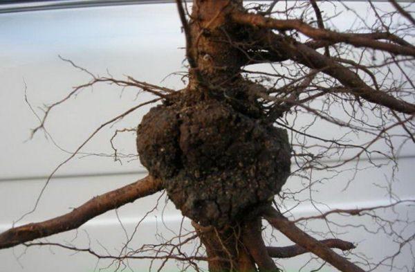 Рак на корнях вишни
