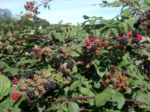 Готовые к сбору ягоды ежевики Трипл краун