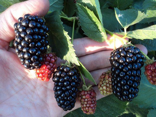 Плоды ежевики сорта Натчез