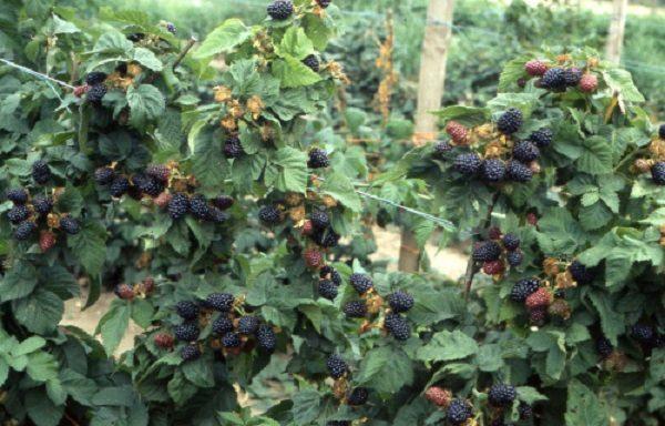 Спелые ягоды ежевики Торнфри, готовые к сбору
