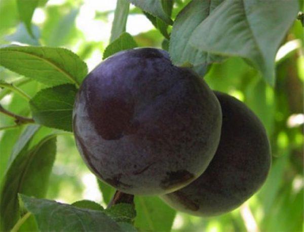 Плоды синей сливы, готовые к сбору