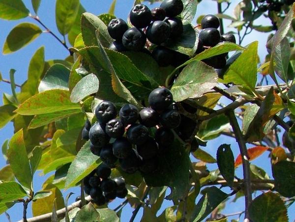 Выбор саженца, посадка и уход за черноплодной рябиной