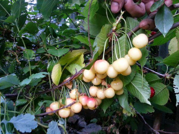 Зеленые ягоды черешни Фатеж на кусте