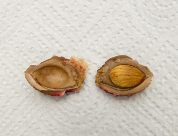 Для выращивания сливы из косточки отбирают семена спелых плодов, деревьев, приспособленных к местным климатическим условиям