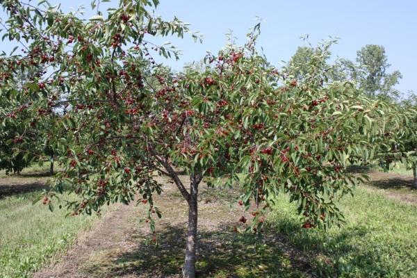 Посадка черешни осенью, уход за деревцем, полезные рекомендации