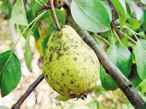 Сажистый грибок на листьях и плодах груши
