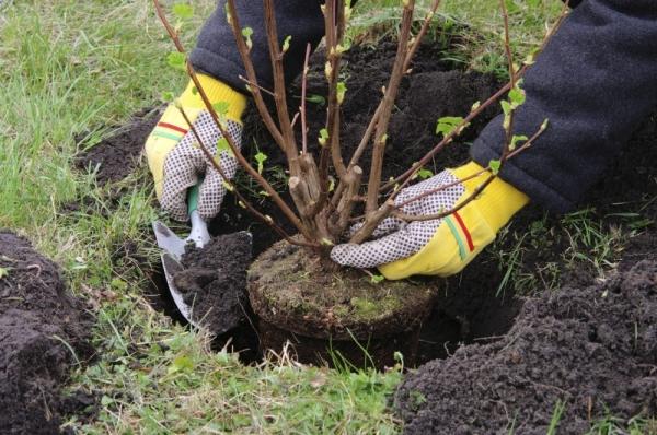 Перед посадкой осмотрите корни; засыпьте саженец землей так, чтобы корневая шейка осталась на 3- 5 см выше поверхности грунта