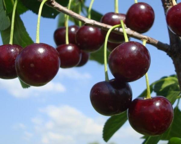 сорт вишни шоколадница фото и описание сорта