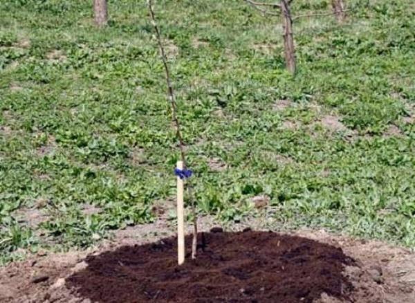 После посадки саженец вишни мульчируем