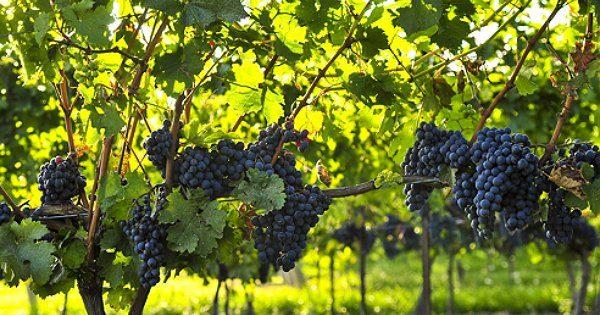Виноград - дружелюбное растение
