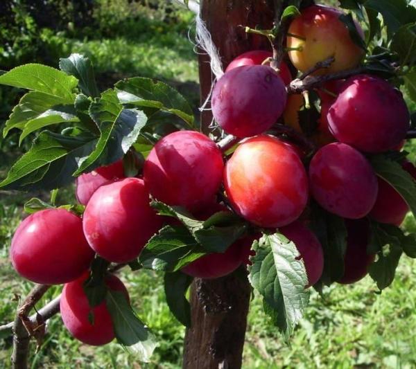Слива сорта Июльская плодоносит на третий год после посадки, плоды крупные, очень сладкие
