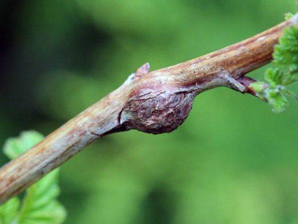 Вздутие на побеге ежевики с личинками малинной орехотворки