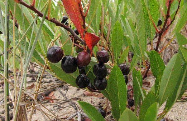 Кусты с ягодами вишни Бессея