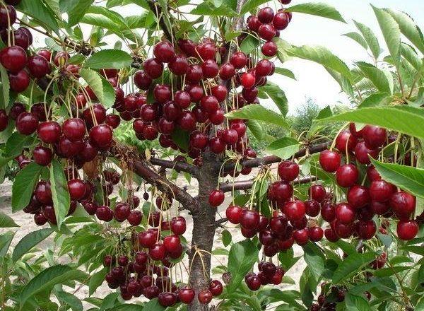 Обильный урожай вишни