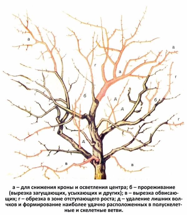 Продлить плодоношение, омолодить сливу можно, если вовремя сделать омолаживающую обрезку дерева по схеме