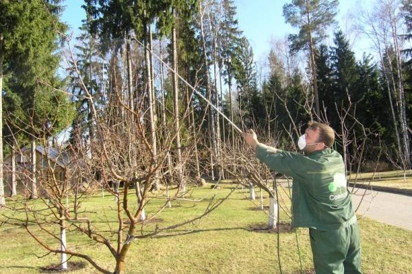 Обработку сливы от вредителей осенью можно проводить народными средства, а также химикатами