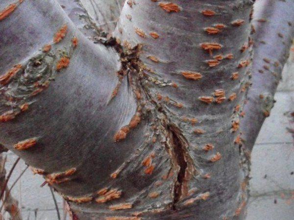 Механическое повреждение коры вишни