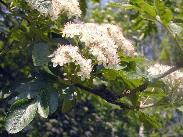 Цветки Гранатной рябины собраны в пучки соцветий