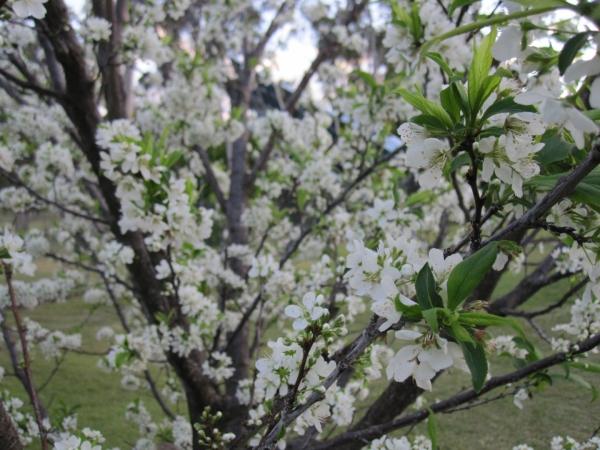 Китайская слива зацветает в середине апреля, цветы белые, форма кроны шарообразная
