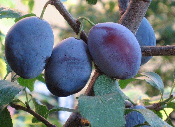 Плоды сливы имеют продолговатую форму