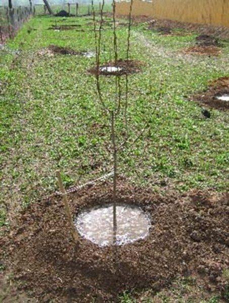 После высадки саженцы Чудо-вишни требуют обильный полив