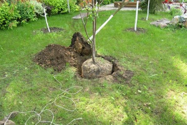 Высаживать вишню сорта Владимирская лучше всего на холмах, почва - суглинок или чернозем