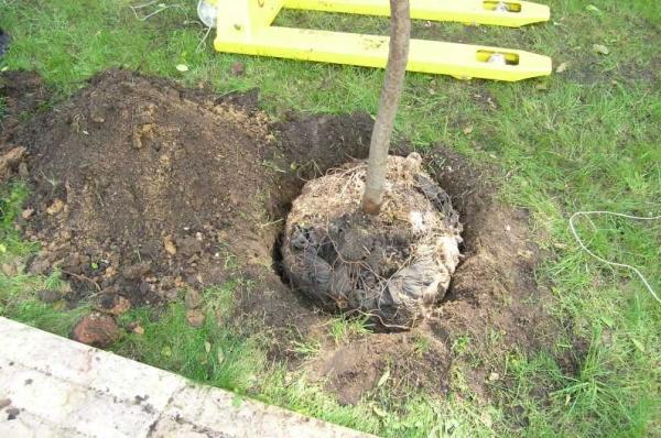 Для гибридных деревьев яма должна быть 80 сантиметров в ширину и глубину, гибриды предпочитают нейтральную или щелочную почву