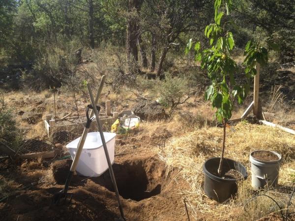 Если необходимо, лучше пересаживать здоровые деревья черешни в возрасте 5-6 лет