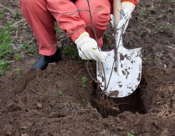 Наилучшим образом черешня растет в суглинках или в супесчаных почвах, любит солнечные и освещенные участки