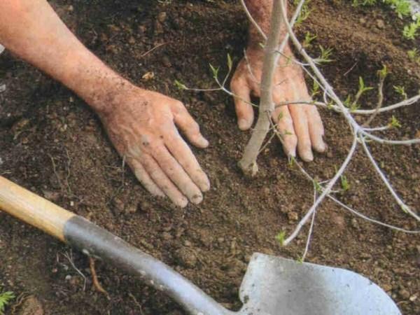 Когда сажать деревья в саду осенью 35