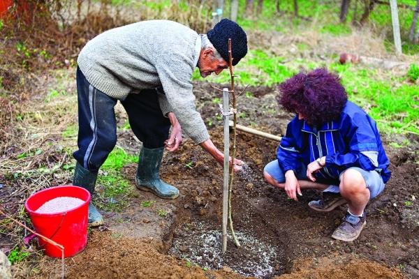 Для посадки сливы сорта Уральская красная нужна нейтральная почва, южная сторона участка