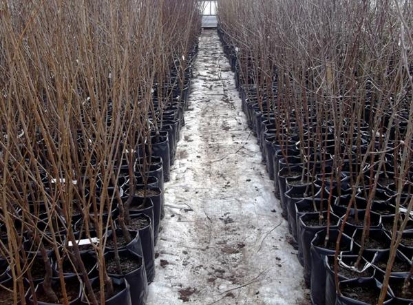 Большинство сортов вишни самобесплодны, для полноценного плодоношения дерева нужно приобретать три саженца разных сортов