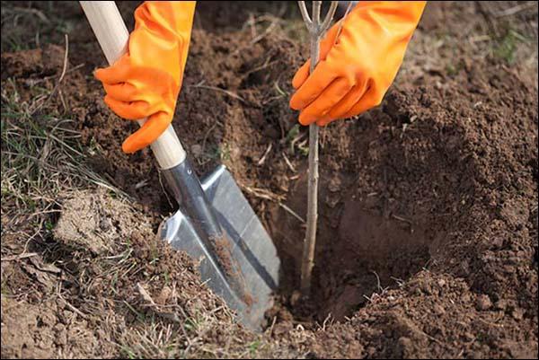 Саженец помещают в яму таким образом, чтобы корневая шейка была на 3-5 сантиметров выше уровня земли, привязывают к опорному колу