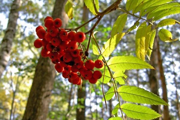 Принимать целебные плоды, настойки и сок рябины нельзя в случае индивидуальной непереносимости ягод