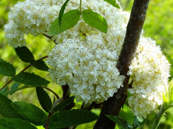 Отвары из цветков рябины помогают нормализовать деятельность эндокринной системы, устраняют нарушения печени