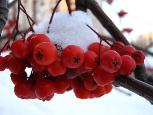 Ягоды обыкновенной красноплодной рябины содержат много витаминов и микроэлементов, что позволяет использовать ее в разных областях медицины