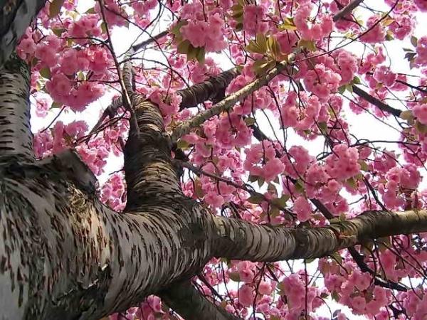 Японская вишня сакура: описательные характеристики дерева, посадка, уход, сорта