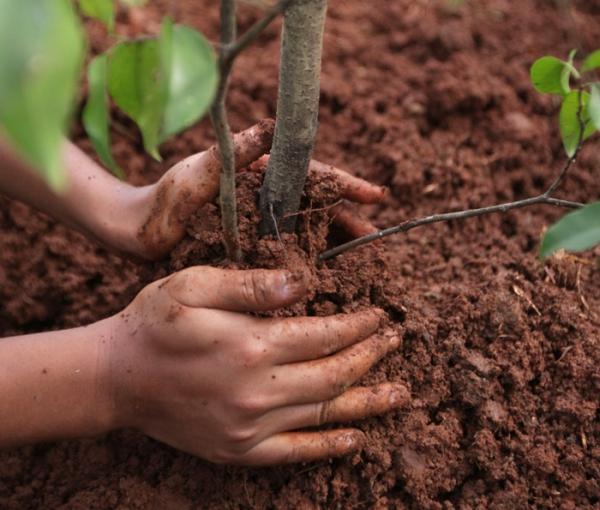 Как и когда лучше сажать и пересаживать сливу: пошаговое руководство по высаживанию и уходу